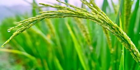 Grain of rice on the Stalk